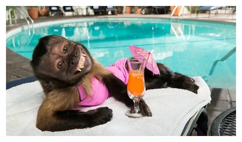 monkey in bikini
