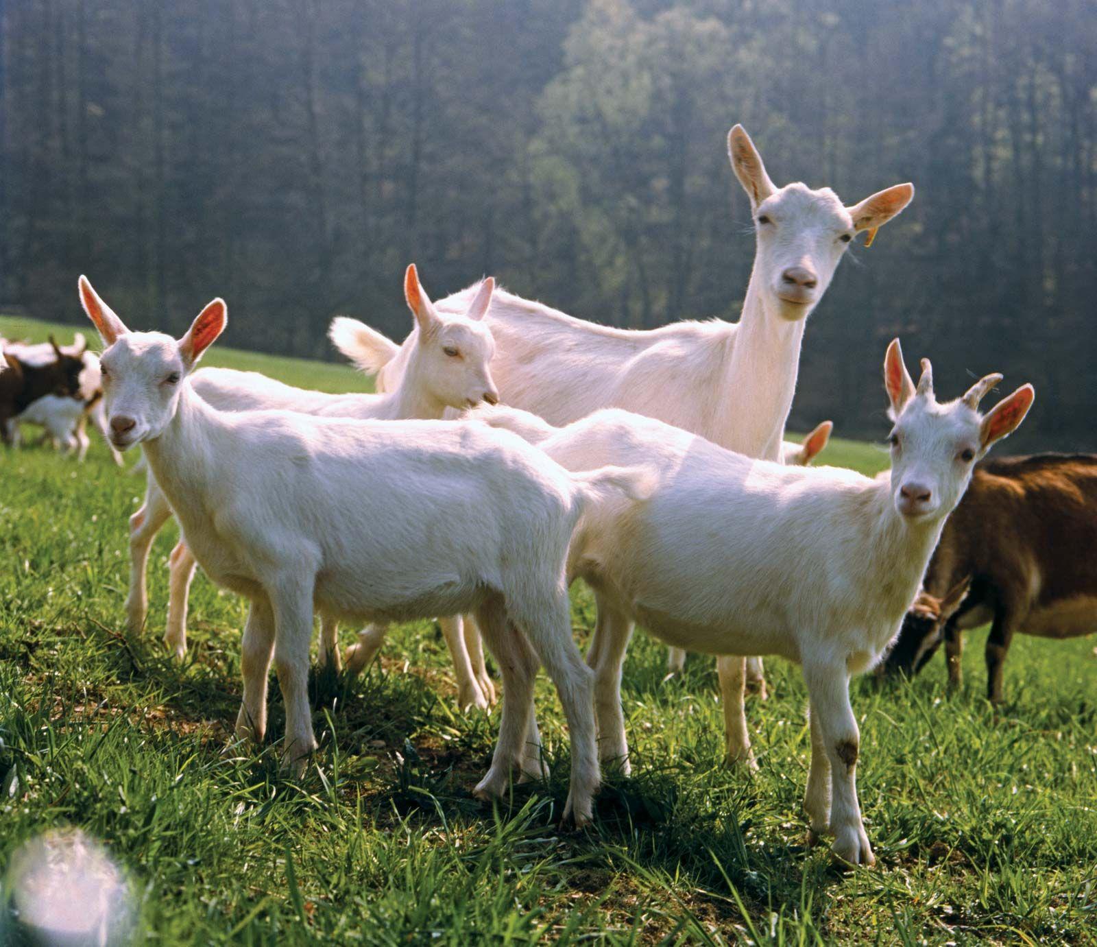 heavy ass goat super