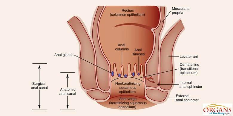 human anal gland