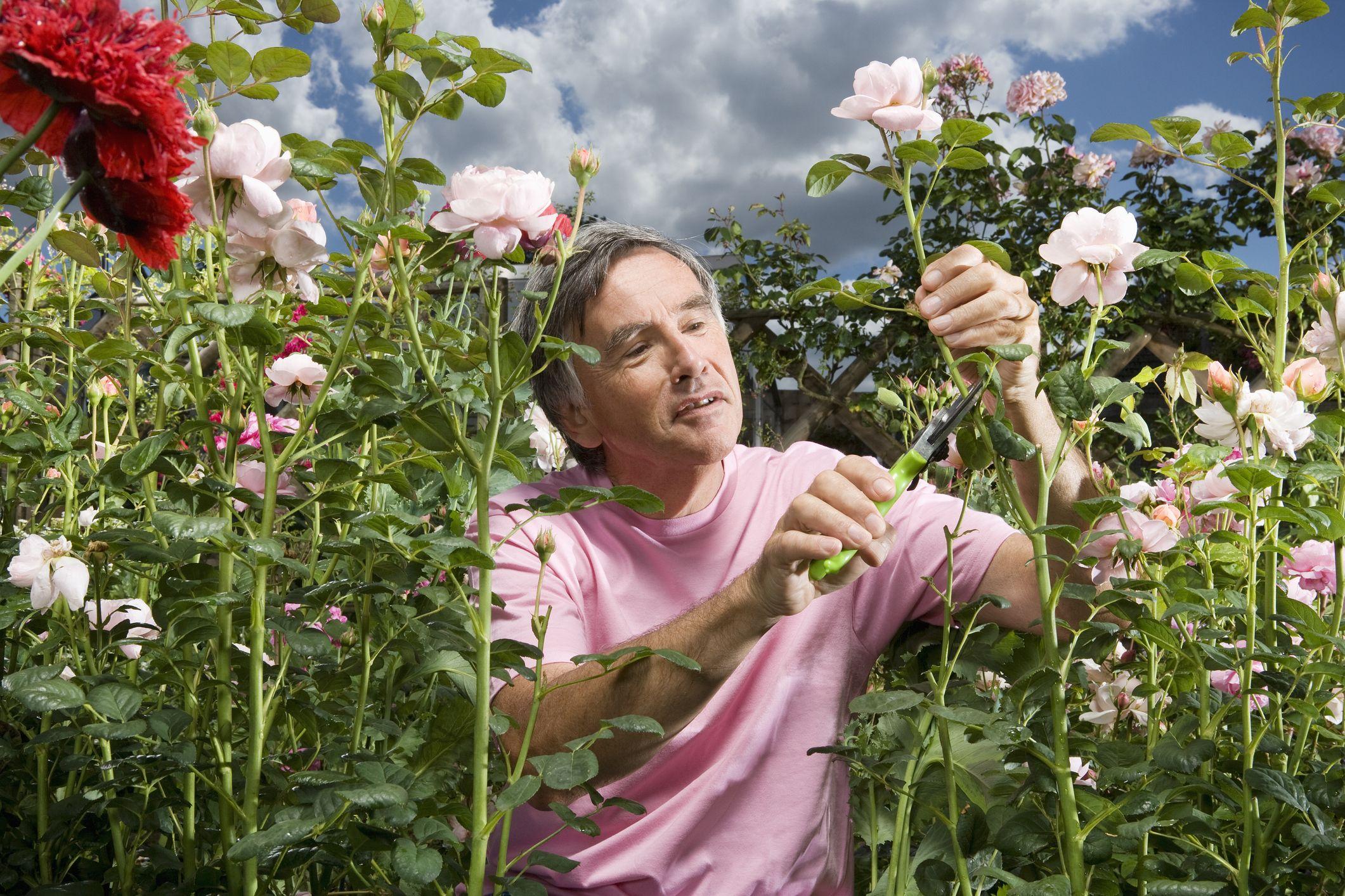 rose sale plants for mature