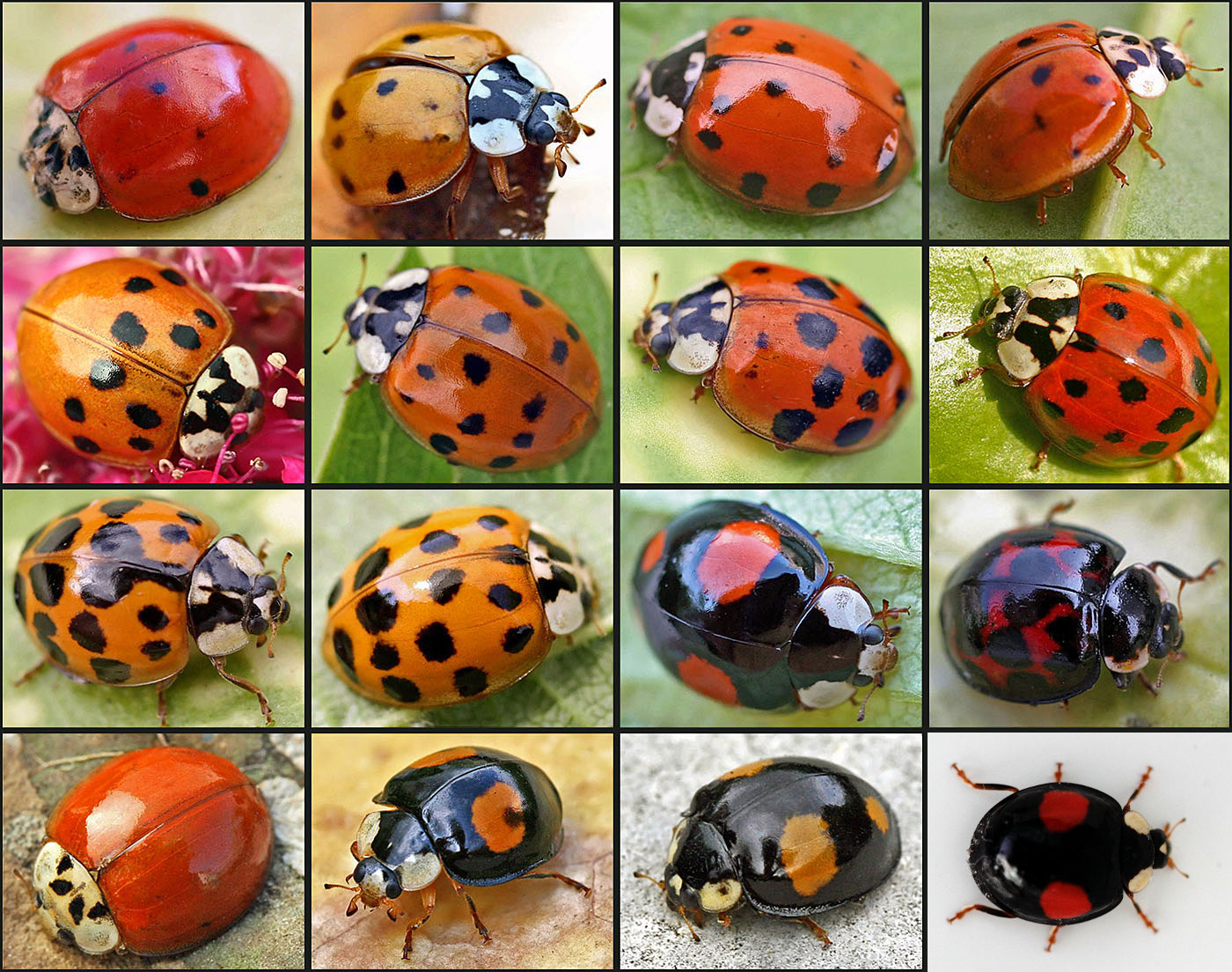 what are ladybeetles to attacted asian