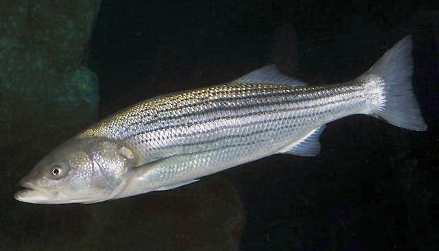 black salties bass for striped